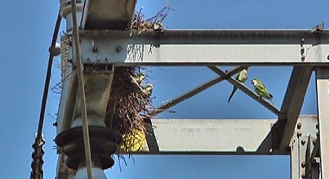 Power Line Perching Parrots Put Out