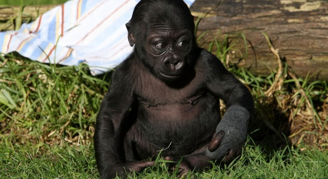 For Mother's Day, Gorilla Baby Embraces Mom
