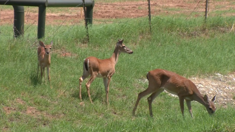Azle Searches for Solution to Deer Problem