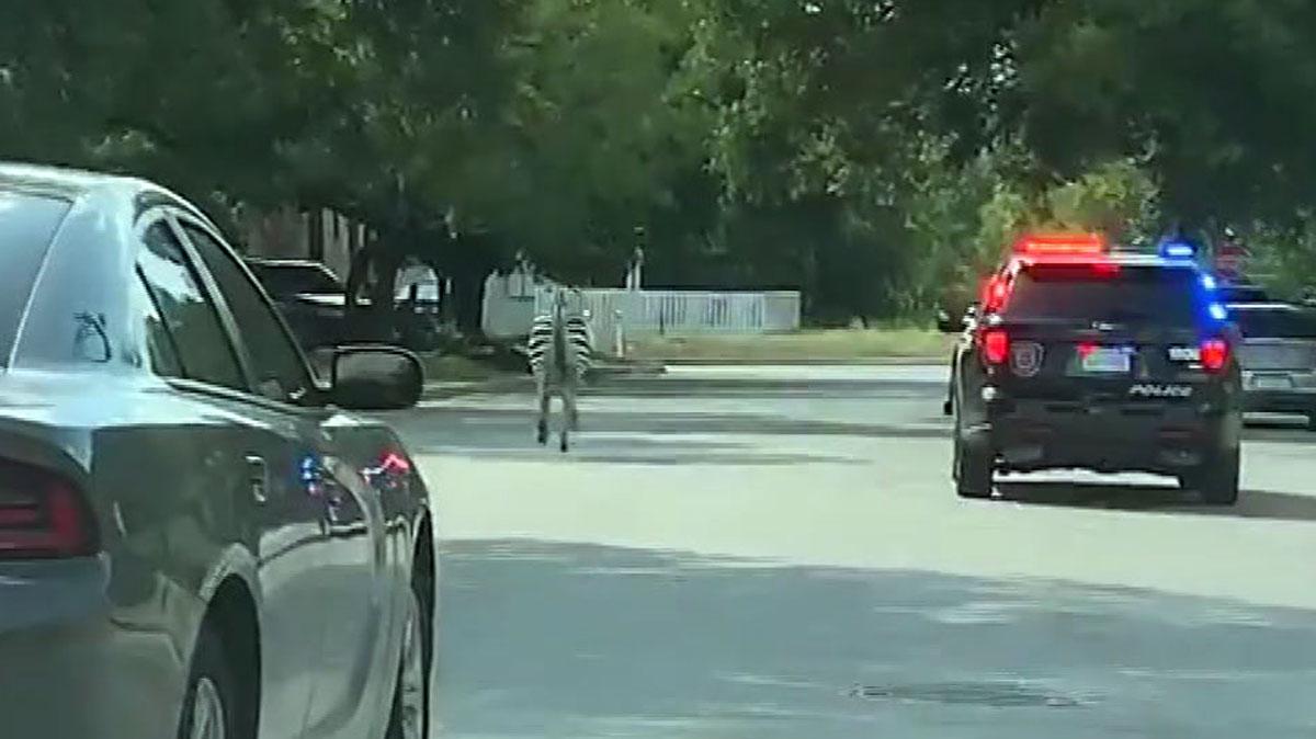 Escaped Zebra Caught in New Braunfels - Dallas news - NewsLocker